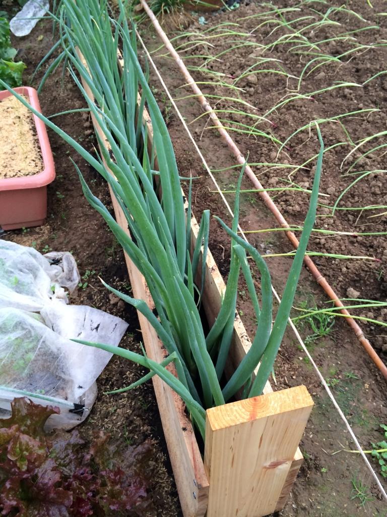 九条太ネギを板で囲んで栽培している様子。中には籾殻を入れています。