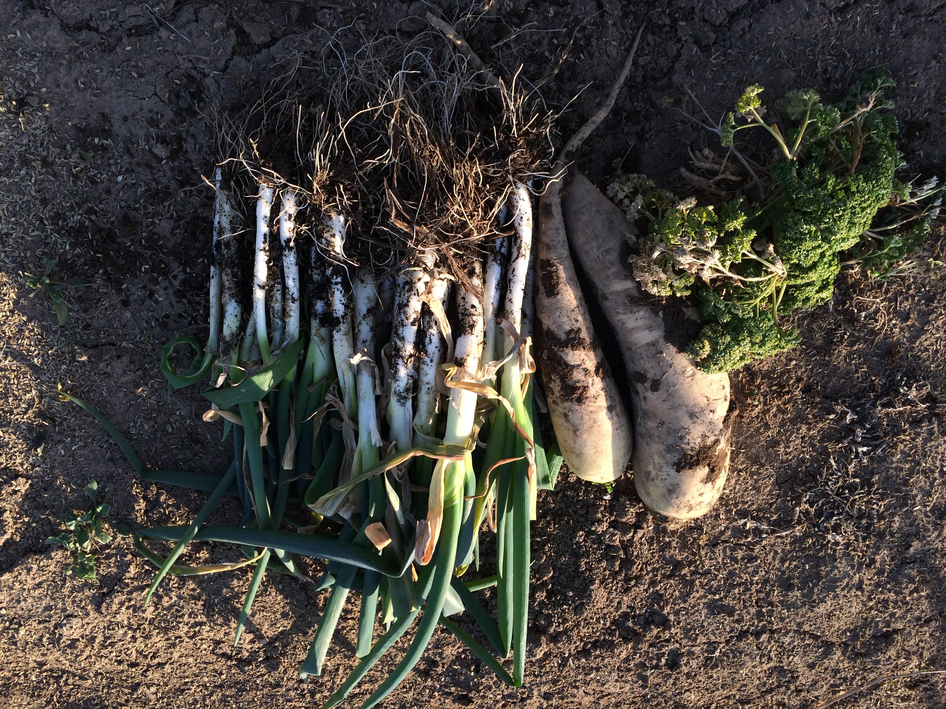 春野菜にむけて収穫