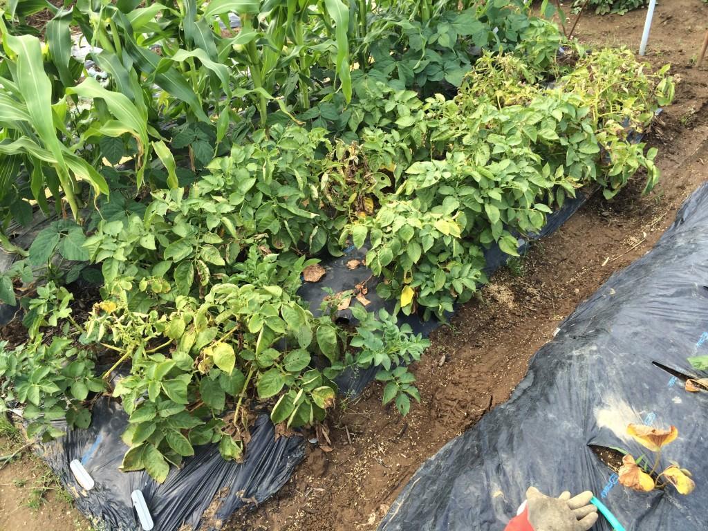 6月のジャガイモ。枯れだした葉もちらほらあります。