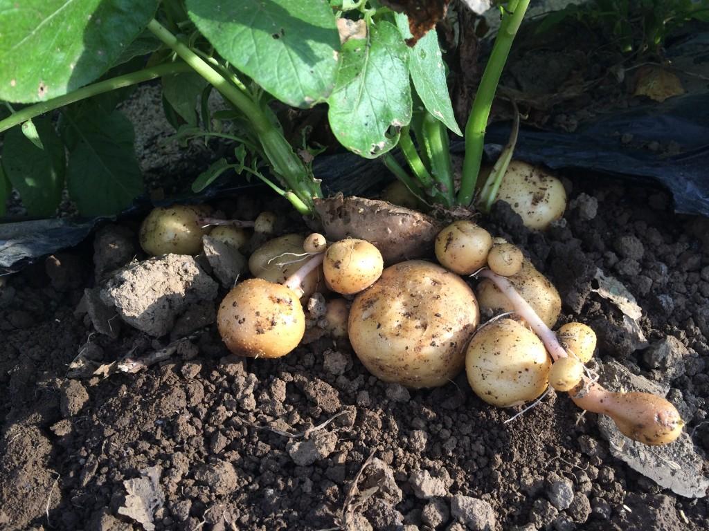 豊作だったジャガイモの逆さ植え