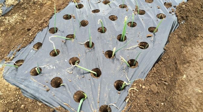 面倒な土寄せが不要な長ネギの栽培方法