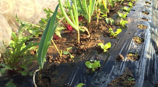 ミニトマトの植え付け。もちろん間にはネギを混植!