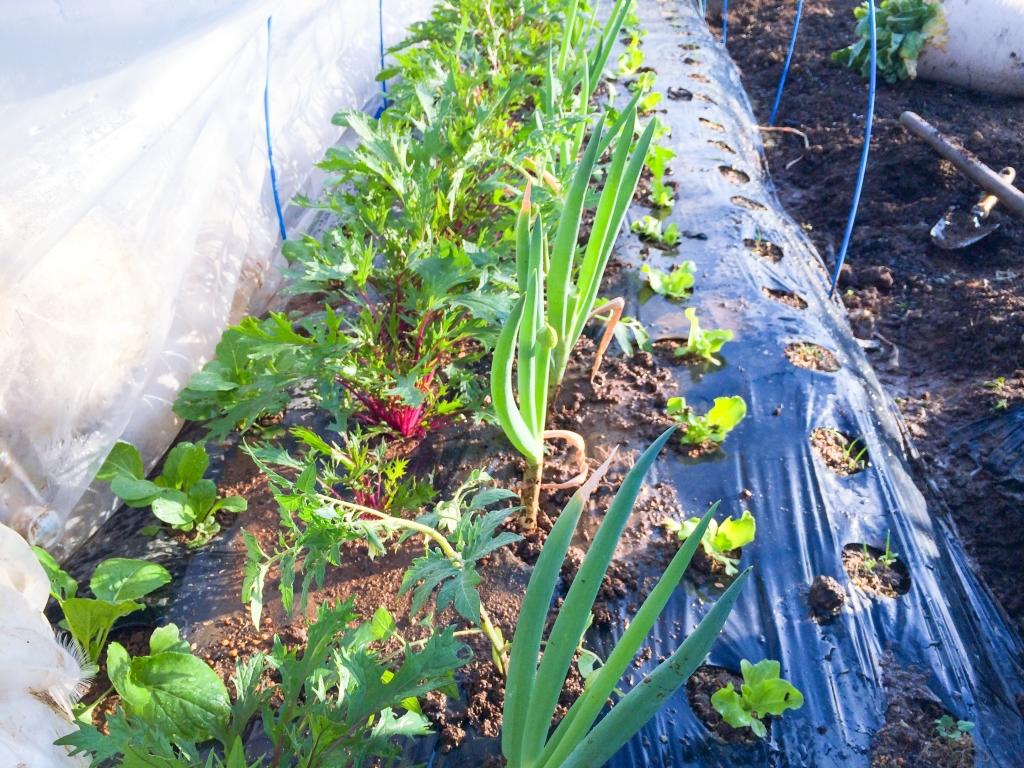 小松菜、水菜、ミニトマト、長ネギ、レタス、ニンジンを混植♪( ´θ`)ノ