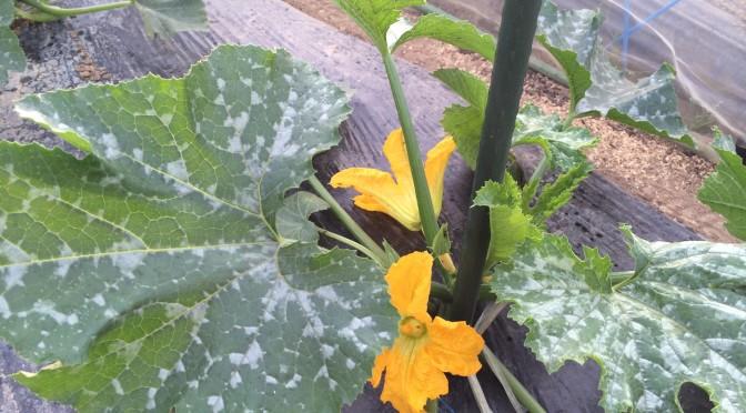ズッキーニの花。