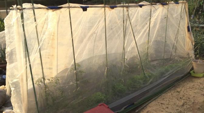 防虫ネット栽培から支柱栽培へ変更