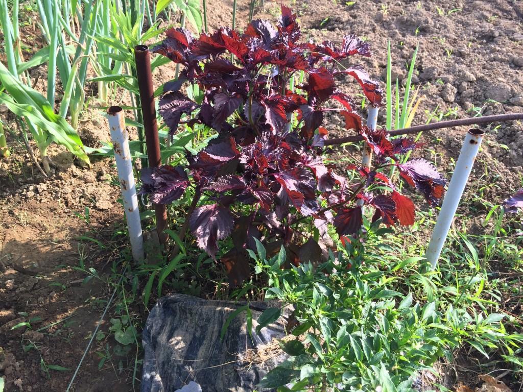 畑の片隅に植えていた赤シソ