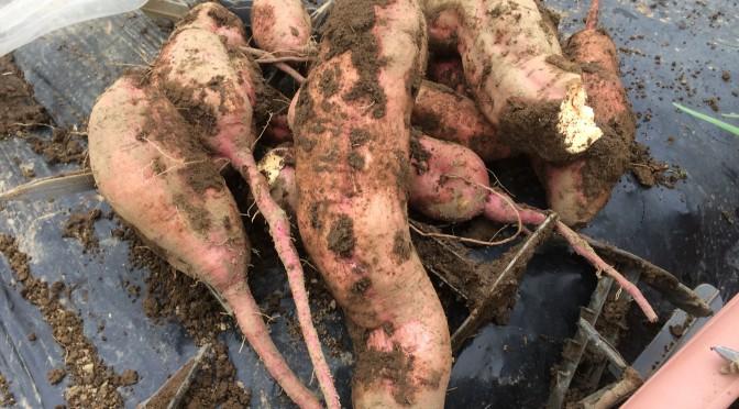 苗取り用ポット苗からサツマイモを収穫