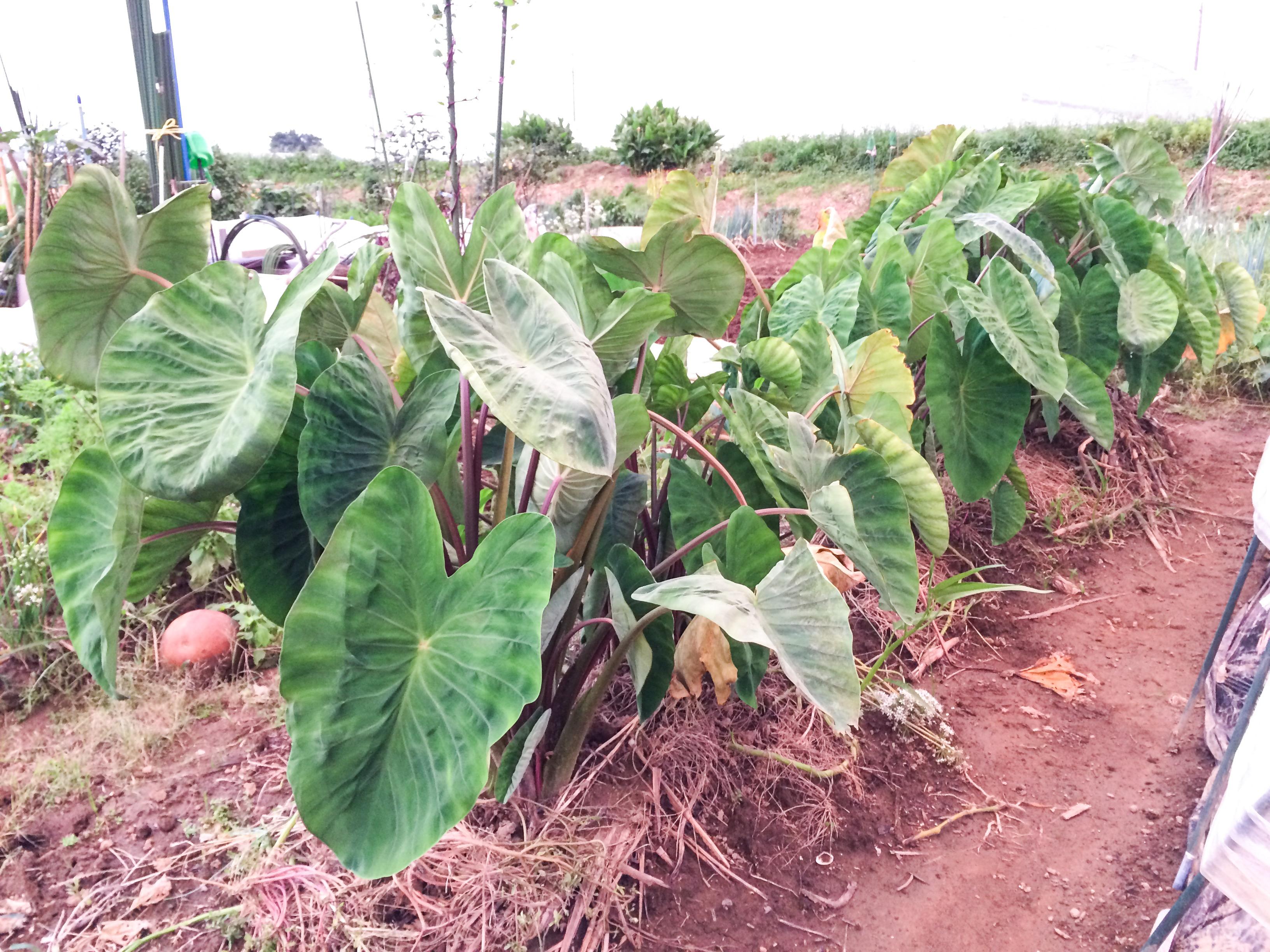 サトイモとショウガの畝