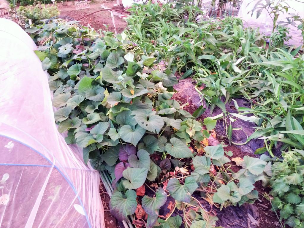 安納芋の畝。苗とり用のポッドを植えて、作った苗を植えて育った安納芋。収穫の11月が楽しみ。