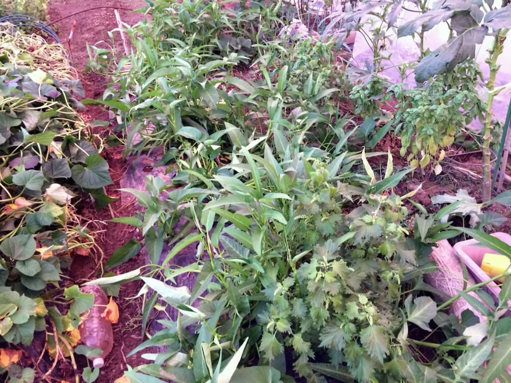 空芯菜の畝