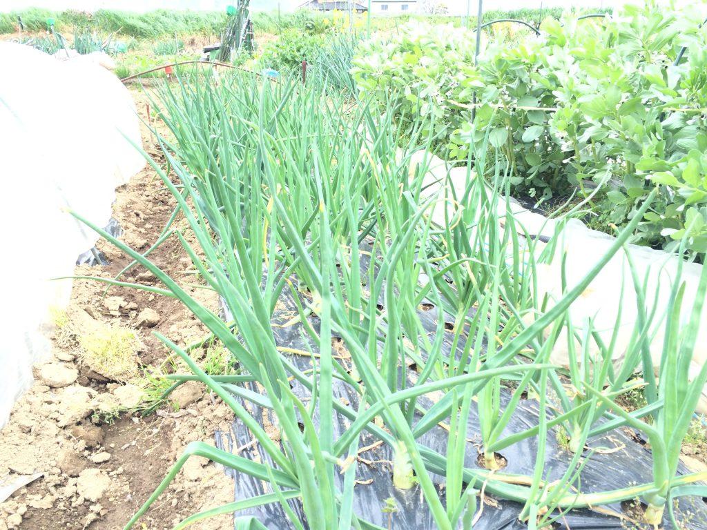 プランターに種を蒔いて、鉛筆ぐらいの太さで畑に植え付けた玉ねぎ。よく見たら蕾の付いている玉ねぎが!種まきも、植え付けも時期を守ったんだけどなぁ〜。
