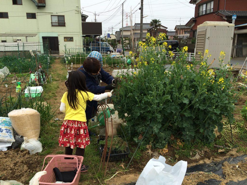 4月に入ってかき菜にも花が咲いてきました。娘はおばあちゃんと仲良く摘み取り(^o^)