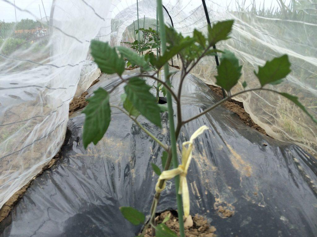 先週に植え付けたトマトの苗。今の所すくすくと成長。