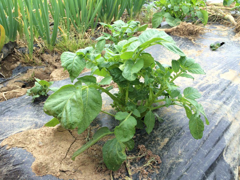 娘と植えたジャガイモ。カット面を乾かすのが足りず腐ってしまったこともあり、生育はバラツキがある(涙)
