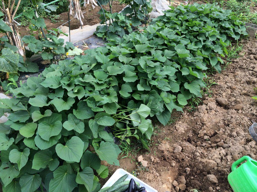今年はサツマイモも枯れることなく順調。植える時にマルチにつかないように土の塊でガードしたからかな。