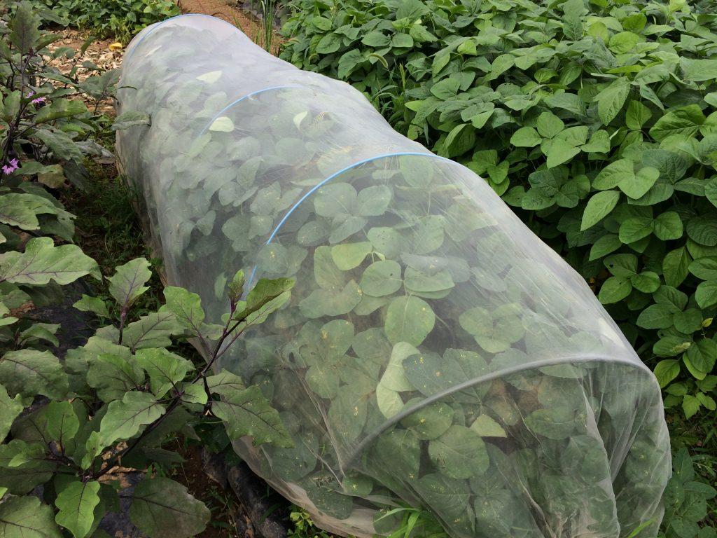防虫ネットの中は枝豆。すくすくと育ってきている(^o^)同じ育て方をしているのに、房が多いのと少ないのがあるのが不思議。摘芯したほうがよいのかなぁ。
