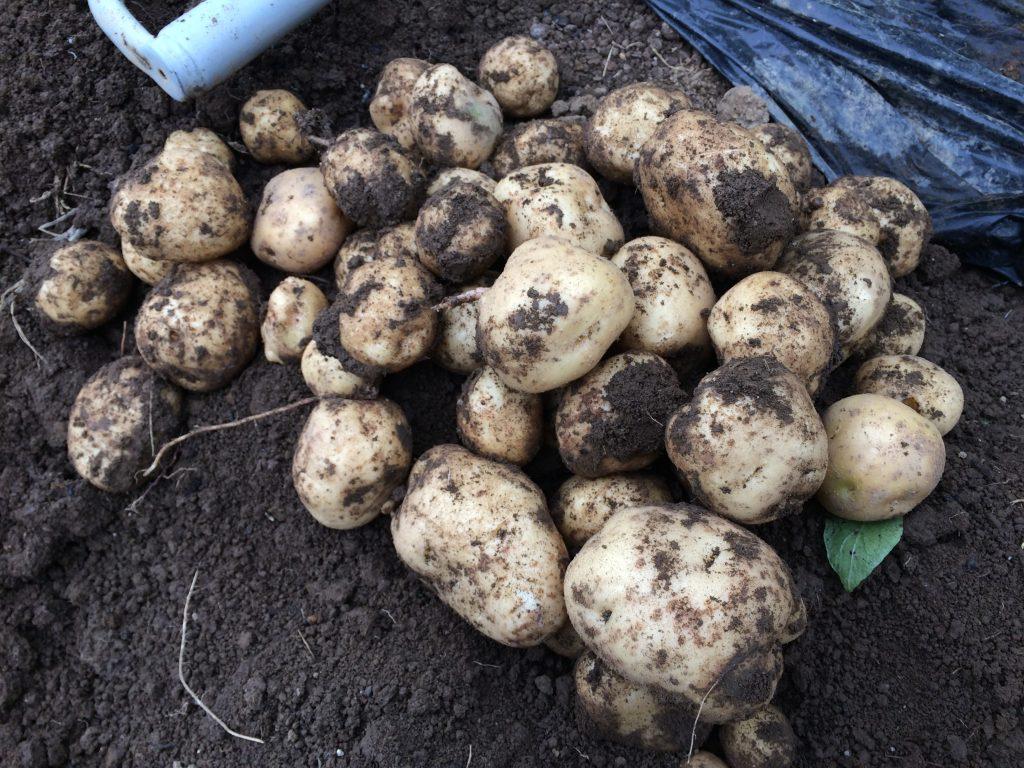 ジャガイモの豊作