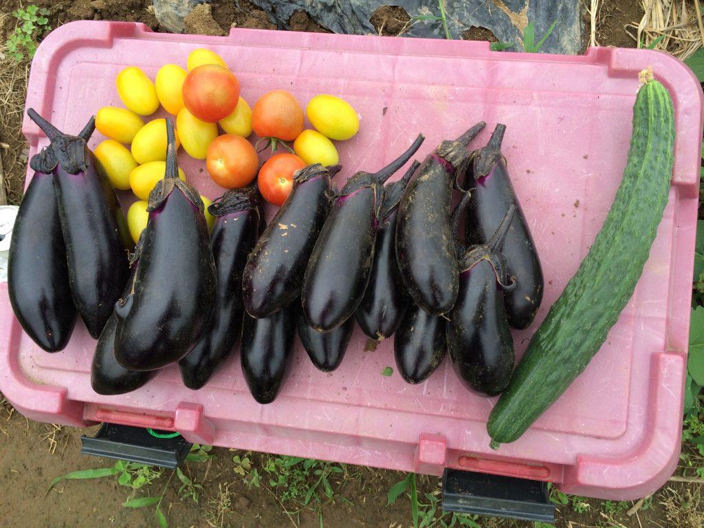 ナスもうまく栽培できたのか、畑に行くたびに大量に取れる(^o^)