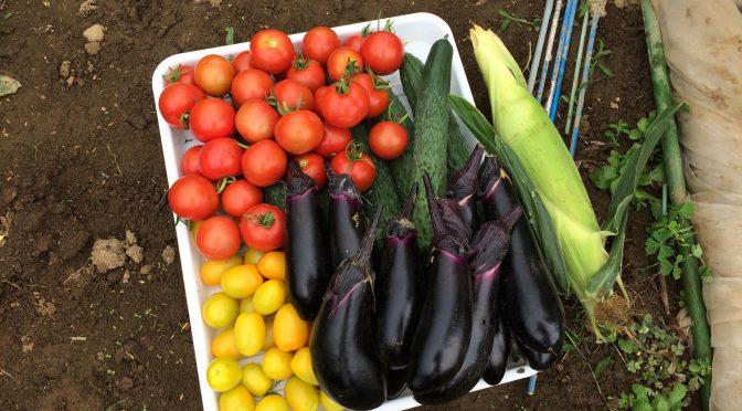 夏野菜がたくさん採れてます(笑)