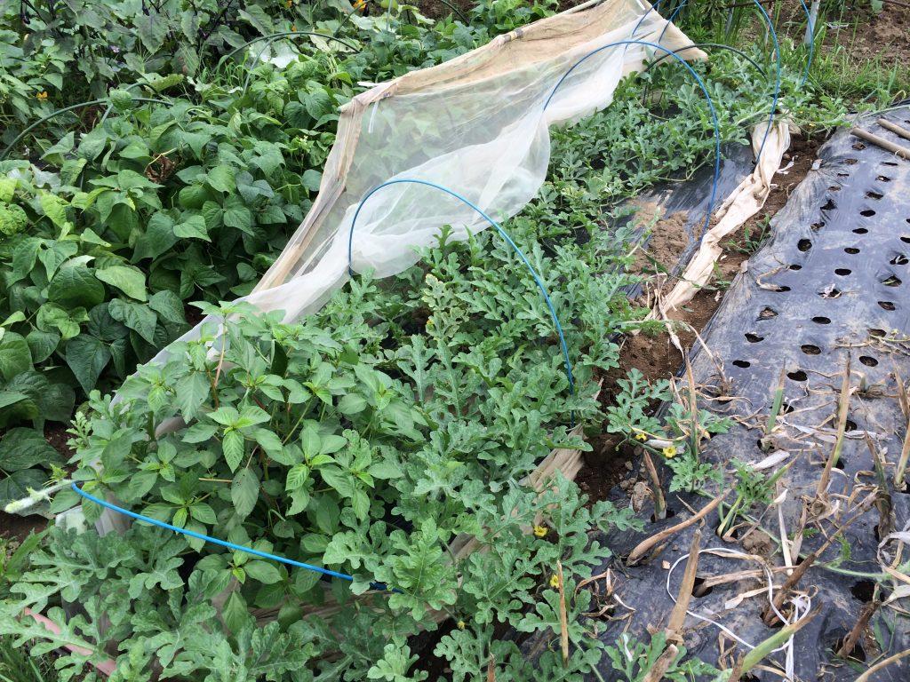 小玉スイカもしっかりと伸びてきました。隣の畑に行かないようにネットでガード。
