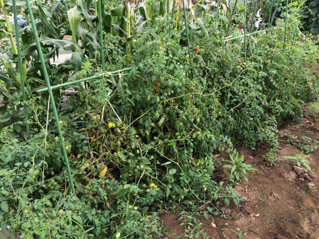 アイコとフルティカは脇芽をとらないで放任栽培。ミニトマトと中玉ならば、脇芽は取る必要ないんですね。