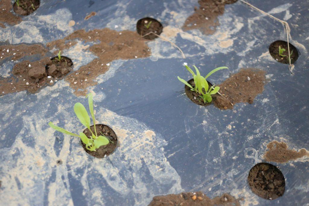ホウレンソウ。すべての穴に捲いたのに芽がでていたりいなかったりとまばら・・・。芽が出たタイミングで食べられてしまっているかな。でていない箇所は今週末にもう一度チャレンジ。