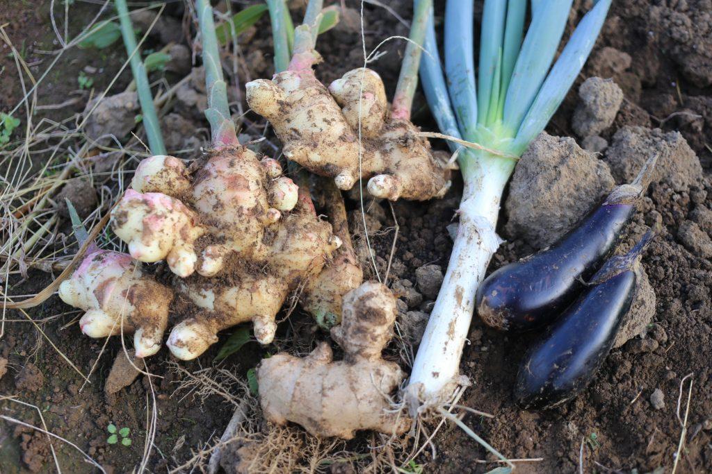大しょうがと長ネギとナスを収穫。種しょうがも食べてしまおうかと思います。