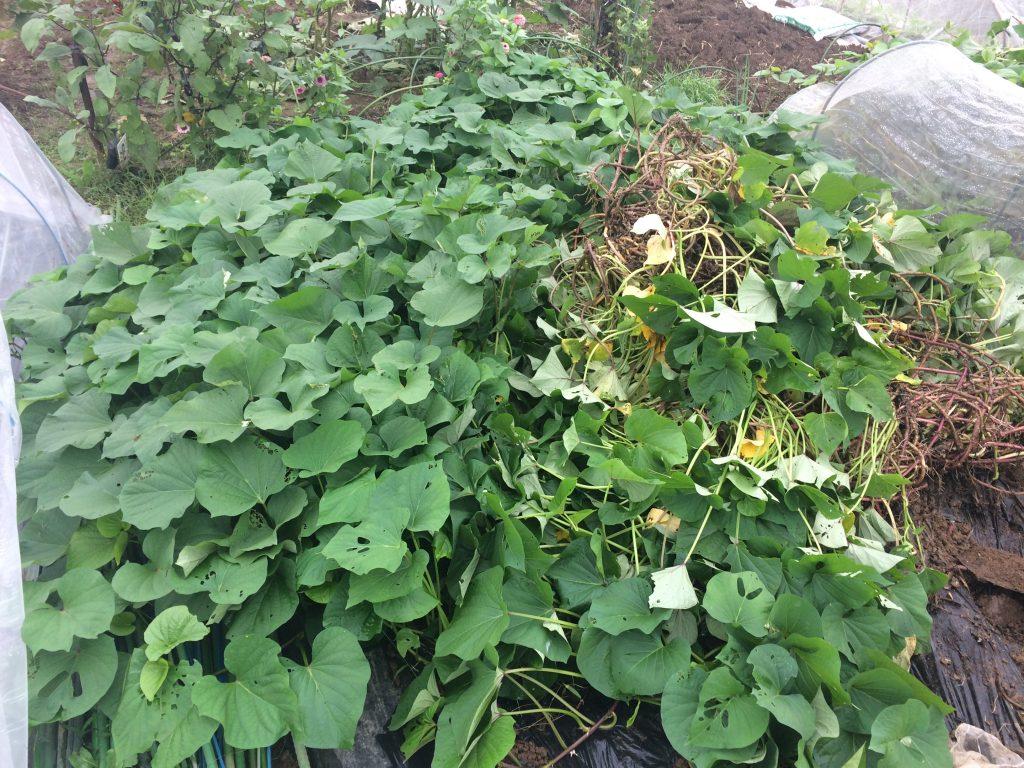 5月のゴーデンウィークに植え付けて成績のよかったさつまいも。蔓返しをしなかったので伸び放題でしたが。子供との芋掘りは楽しいですね。