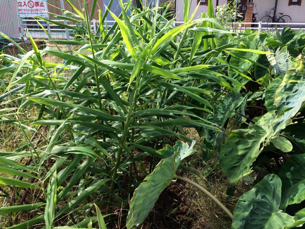 4月の頭に植えていた大生姜。雑草にも負けず育ってます(笑)