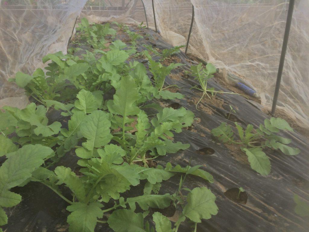 種をまいてから雨とサツマイモのツルで日陰になってしまい徒長気味の大根。それでもなんとか育ってきたので一安心。