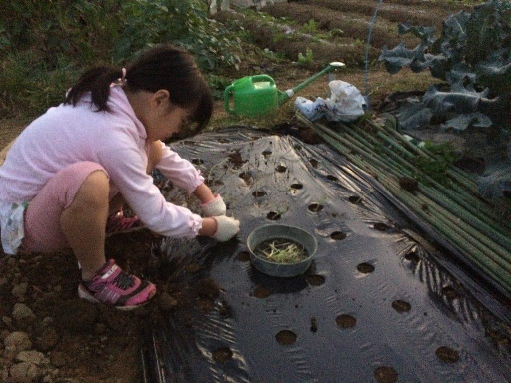 珍しく娘も畑の手伝いをしてくれた。玉ねぎを50本植え付けてくれた。