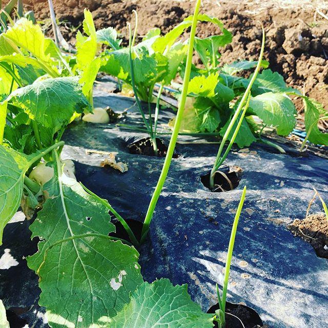 小かぶを収穫したところには玉ねぎを植えるリレー栽培(^o^) #家庭菜園 #サイエナー #わたしの野菜生活 #野菜 #収穫 #玉ねぎ #カブ #リレー栽培