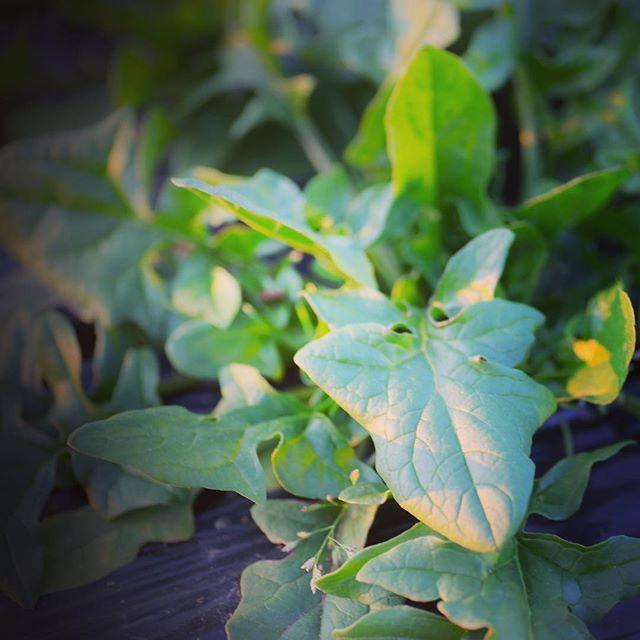 昨年10月中旬に種を蒔いたほうれん草がやっと大きくなってきた。収穫が楽しみだ(^o^)#家庭菜園 #サイエナー #わたしの野菜生活 #野菜 #ほうれん草 #まき遅れ - 畑での一コマ