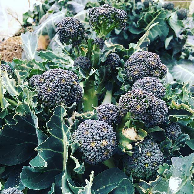 ブロッコリーのわき芽がたくさん。これから1ヶ月は収穫が楽しみ☆#家庭菜園 #サイエナー #わたしの野菜生活 #野菜 #収穫 #ブロッコリー #わき芽 - 畑での一コマ