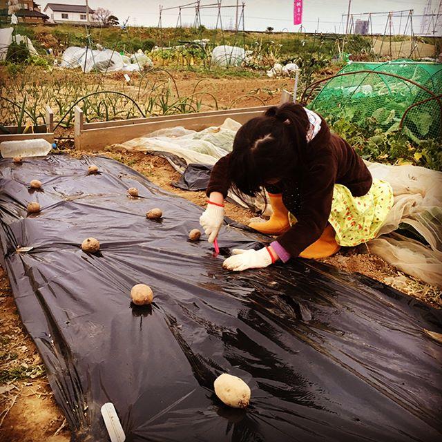 春の野菜の植え付けはジャガイモから。マルチを使った浅植えです(^o^) パパが腰痛のため娘が植え付けを手伝ってくれました。ミミズが出るまでは。。。 #家庭菜園 #サイエナー #わたしの野菜生活 #野菜 #ジャガイモ #浅植え - 畑での一コマ
