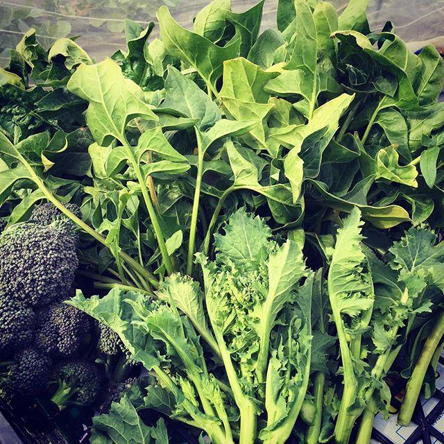 今日の収穫のメインはかき菜。今年の初ものです。茹でて食べるとうまい。後は小松菜のつぼみ。こちらもビールに合います(笑)  #家庭菜園 #サイエナー #わたしの野菜生活 #野菜 #収穫 #かき菜  #初もの #ほうれん草 - 畑での一コマ