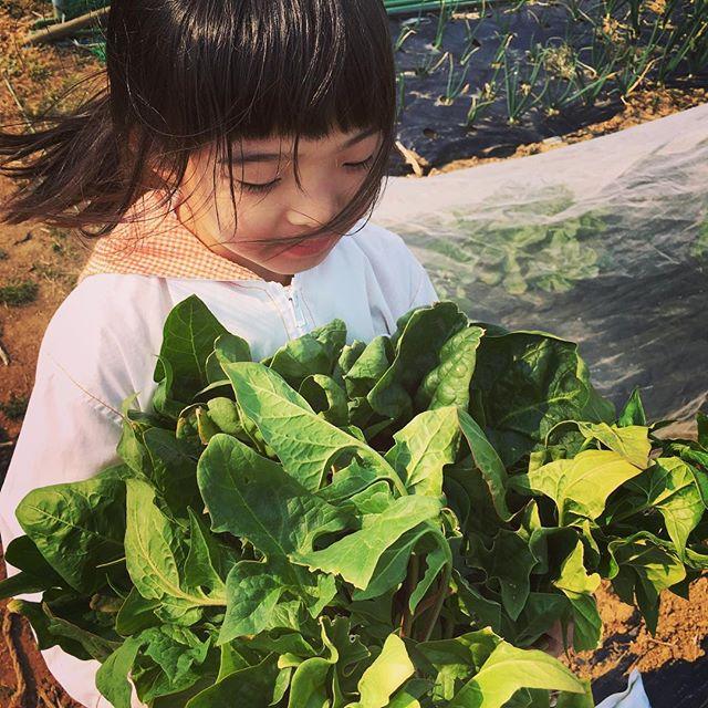 取り残しのほうれん草をすべて収穫。今にも花が咲きそうなので、おそらく茎は固い(^_^;)#家庭菜園 #サイエナー #わたしの野菜生活 #野菜 #収穫 #取り残し #ほうれん草 #董立ち手前 - 畑での一コマ