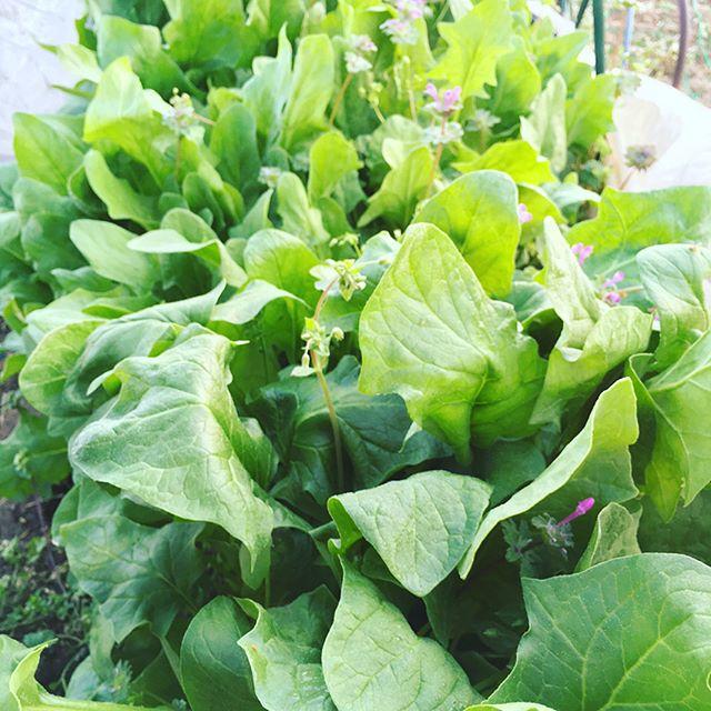 畑で朝活。春のほうれん草が採れ始めたが、超密植で徒長気味(^^;;かき菜は安定の収穫。夏野菜を植えるためにも、そろそろ春の味覚ともお別れしないと。。。#家庭菜園 #サイエナー #わたしの野菜生活 #野菜 #かき菜 #ほうれん草 - 畑での一コマ