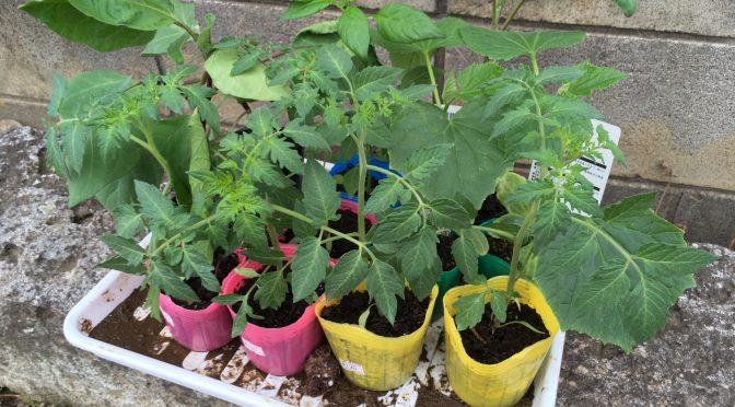 ナス、トマトなど夏野菜を植え付け