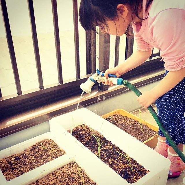 ゴールデンウィーク最終日はコシヒカリの苗を植え付け。日本人だったらやっぱり米を育てないと赤玉土4、黒土4、鹿沼土2をブレンドし、発泡スチロールに入れ水を注ぐだけ。しっかり育つかなぁ〜。 #家庭菜園 #ベランダ #サイエナー #わたしの野菜生活 #野菜 #米  #コシヒカリ #バケツ稲 - 畑での一コマ