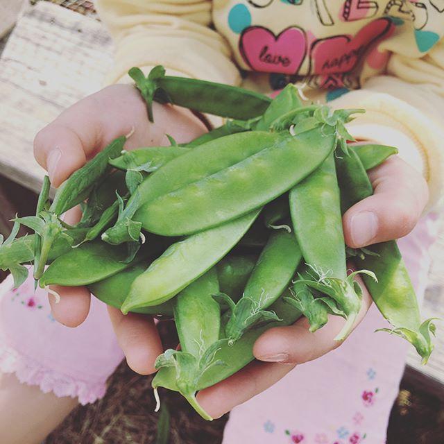 絹さやが美味しい時期となりました。そら豆はまだ空を向いているので、あとは1週間ぐらいかな。エダマメもボチボチ出てきたので、7月にはエダマメ地獄となりそう(^^;; #家庭菜園 #貸し農園 #サイエナー #わたしの野菜生活 #野菜 #エダマメ #絹さや #そら豆 #ジャガイモ #トマト #島らっきょう - 畑での一コマ