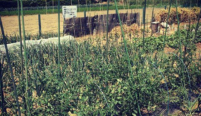 今年のトマトも脇芽を取らずに吊り下げ栽培 – 畑での一コマ