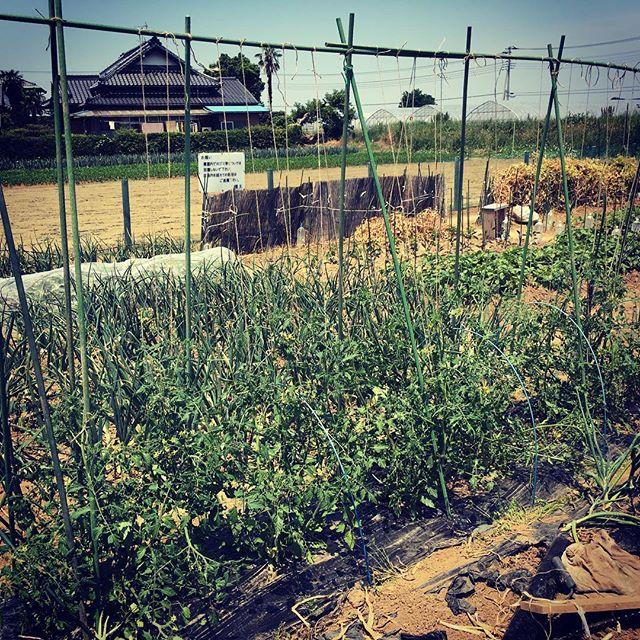 今年のトマトも脇芽を取らずに吊り下げ栽培。ちょっと遅くなってしまったがトマトの支柱のセッティングと太い枝を紐で吊り下げ。昼近く作業をしたら暑い暑い(^^;;作業終わりにミニストップでハロハロを食べてクールダウン。#家庭菜園 #貸し農園 #サイエナー #わたしの野菜生活 #野菜 #トマト #フルティカ #イエローアイコ #吊り下げ栽培 - 畑での一コマ