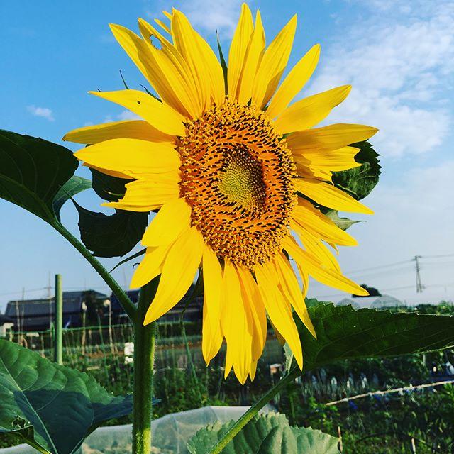 早起きした子供達と畑に。ひまわりが綺麗に咲きました️朝ごはんのパンを食べながらミニトマトを食べる。うん、美味いこれから保育園、小学校、会社があるけれど、元気が続くかな(笑)#家庭菜園 #菜園 #貸し農園 #サイエナー #わたしの野菜生活 #野菜 #キュウリ #ミニトマト #ナス #収穫 #ひまわり - 畑での一コマ