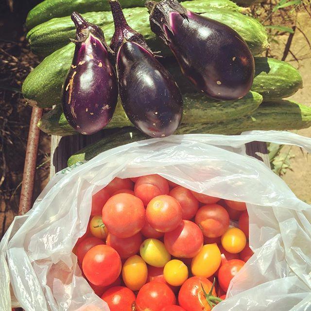 朝から畑の草むしり雑草ばかりが元気で。。。キュウリとミニトマトは安定の収穫。そろそろ秋の準備をしないとなぁ#家庭菜園 #菜園 #貸し農園 #サイエナー #わたしの野菜生活 #野菜 #キュウリ #ミニトマト #ナス #収穫 - 畑での一コマ