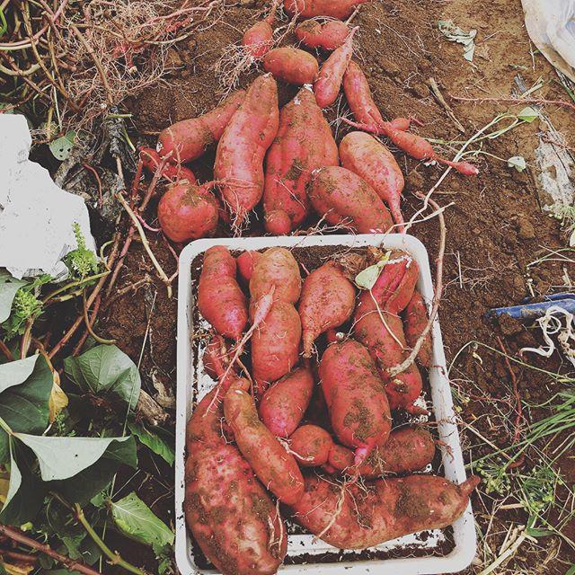秋と言ったらサツマイモ️子供たちにはイモの収穫が1番楽しそう。雨が多かったからか収穫量は少ないかなぁ(^^;; #家庭菜園 #菜園 #貸し農園 #サイエナー #わたしの野菜生活 #野菜 #サツマイモ - 畑での一コマ