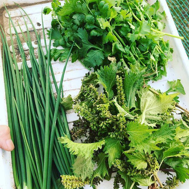 薬味やアクセントに使えるお野菜を収穫〜。わけぎ、シソの実、意外と高いパクチー#家庭菜園 #菜園 #貸し農園 #サイエナー #わたしの野菜生活 #野菜 #わけぎ #パクチー #しその実 - 畑での一コマ
