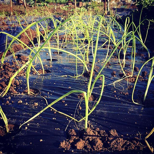 この連休は天気がよかったので畑の作業が進む進む今日は朝から玉ねぎを植え付け。250本でギブアップ、あぁ腰が痛いあと100本は来週。。。そら豆と絹さやも来週ー。#家庭菜園 #菜園 #貸し農園 #サイエナー #わたしの野菜生活 #野菜 #玉ねぎ - 畑での一コマ