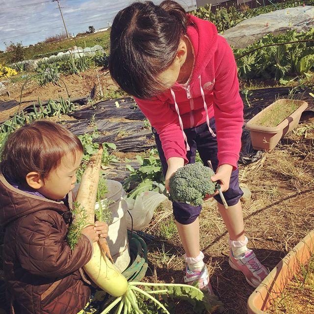 子どもと収穫した野菜。ブロッコリーもダイコンも大きくなってきた〜 #家庭菜園 #菜園 #貸し農園 #サイエナー #わたしの野菜生活 #野菜 #ダイコン #ブロッコリー - 畑での一コマ