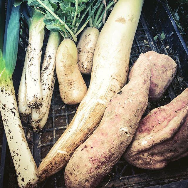 朝採り野菜️気温が低くてもちゃんと成長していた気温が低いせいか葉物の成長が例年より遅い。お正月にほうれん草は間に合うのか#家庭菜園 #菜園 #貸し農園 #サイエナー #わたしの野菜生活 #野菜 #ネギ #大根 #からみ大根 #サツマイモ - 畑での一コマ